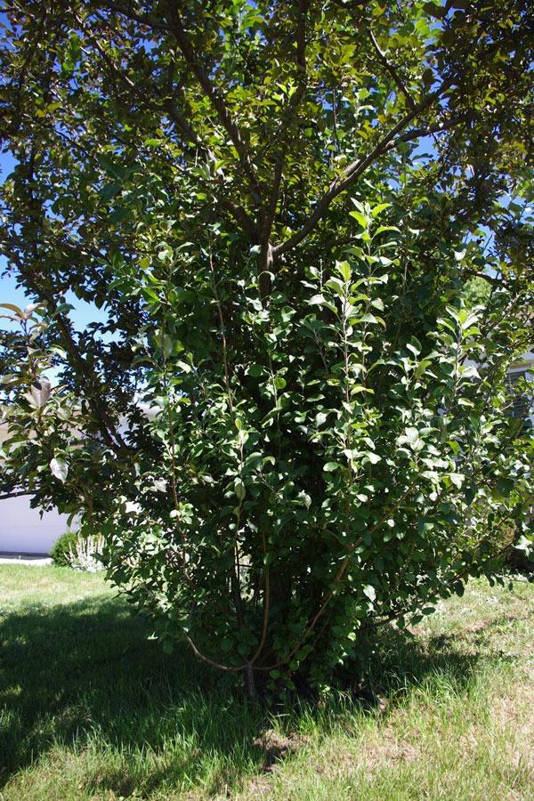 Crabapple pruning - suckers
