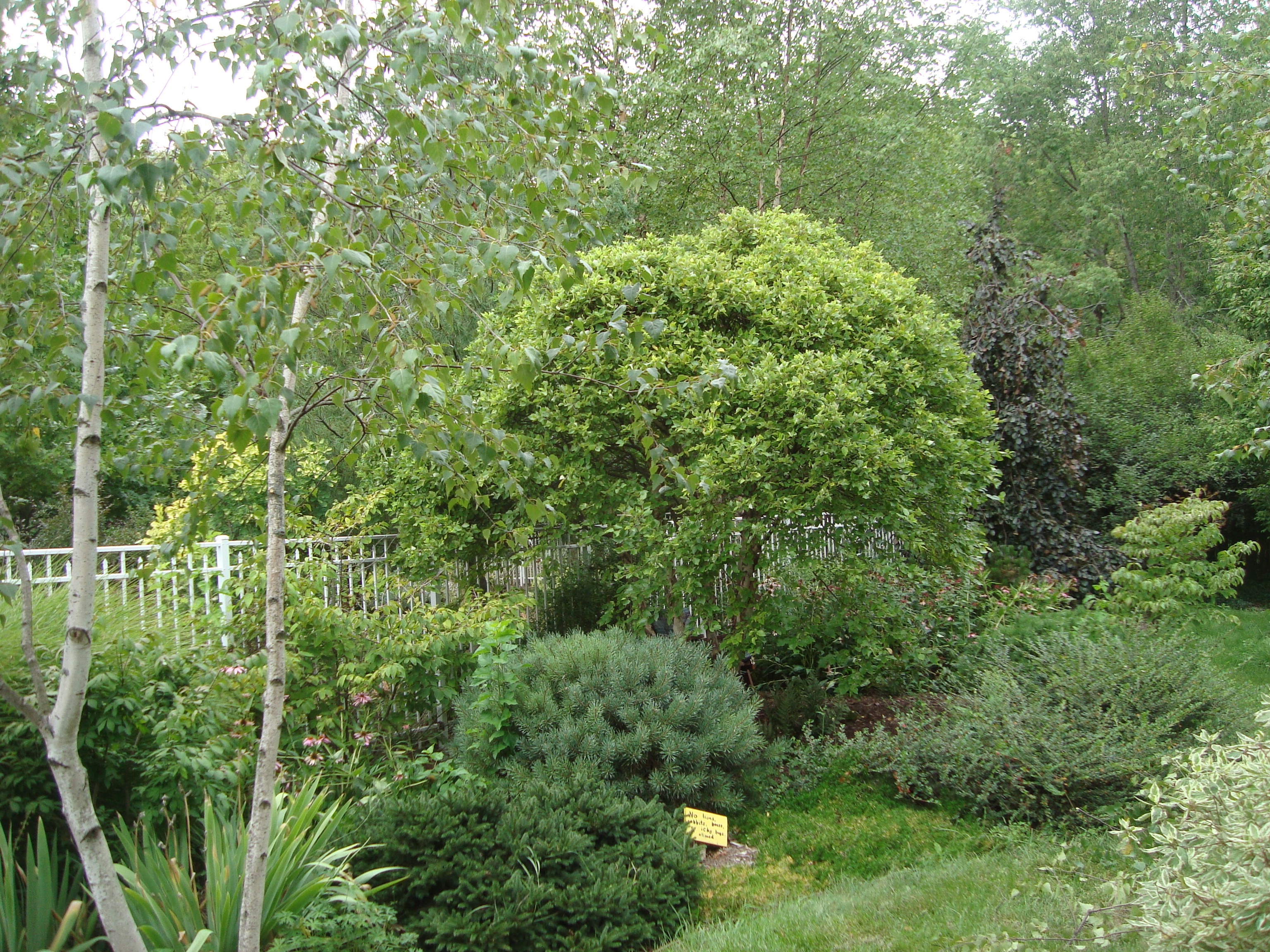 Landscaping With Paper Birch Trees : Dwarf river birch betula nigra little king pruning