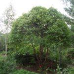 Pruning a Dwarf River Birch (Betula nigra 'Little King')