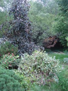 Betula nigra 'Little King' pruning debris