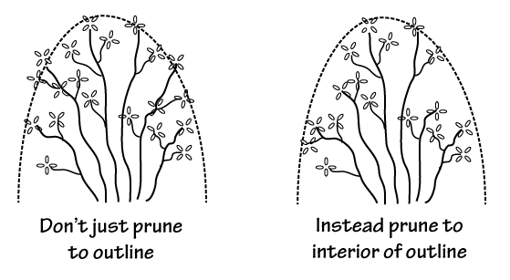 Pruning within the desired outline of the Rhododendron results in a denser plant with less frequent pruning needed