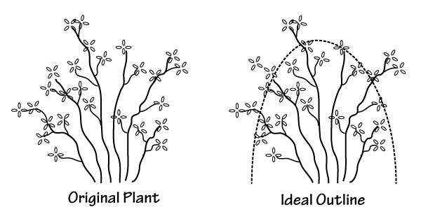 Pruning rhododendron to a rounded outline