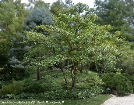 Amur maple after aesthetic pruning