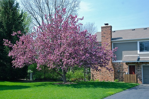 Four Season Interest Crabapple tree photo