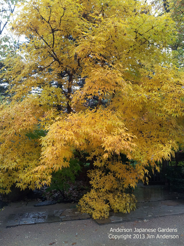 Three flower maple fall color shade Acer Triflorum