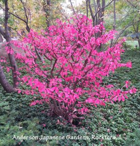 Plants for fall color - Burning bush