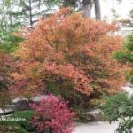 More smaller shade trees for your yard