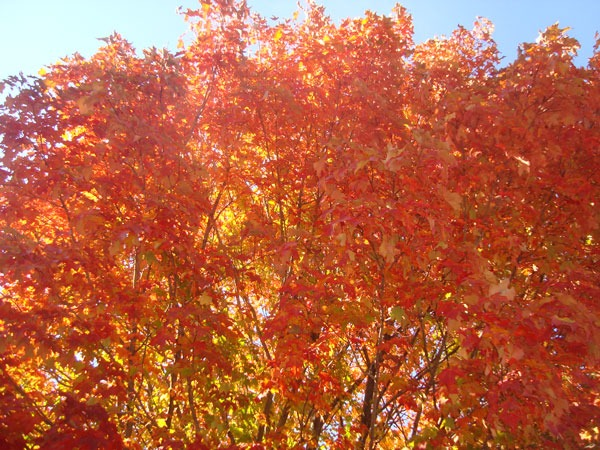 Sugar Maple Foliage In Fall