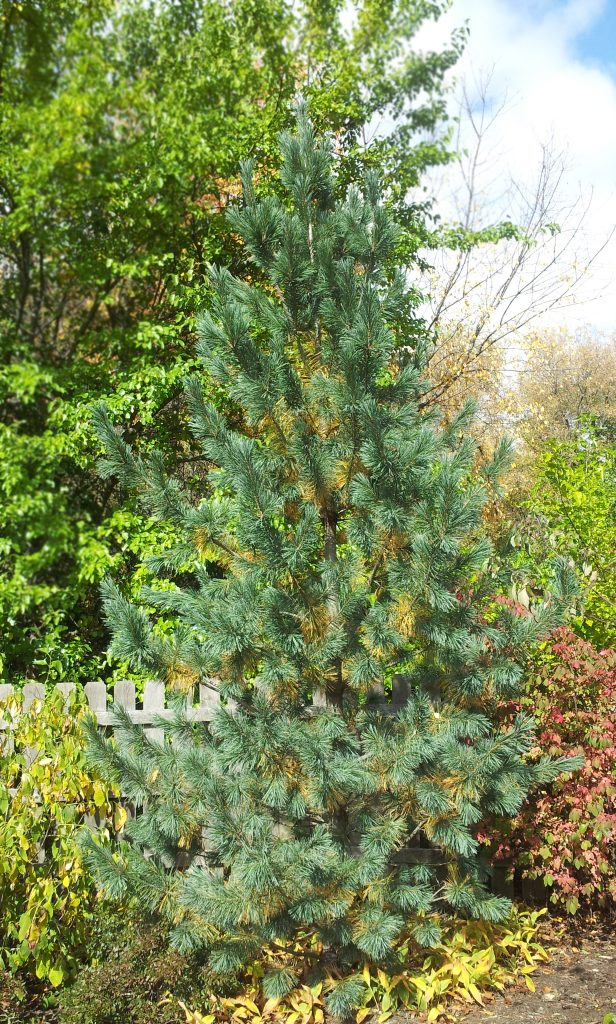 Top native evergreen  trees- Vanderwolf's limber pine