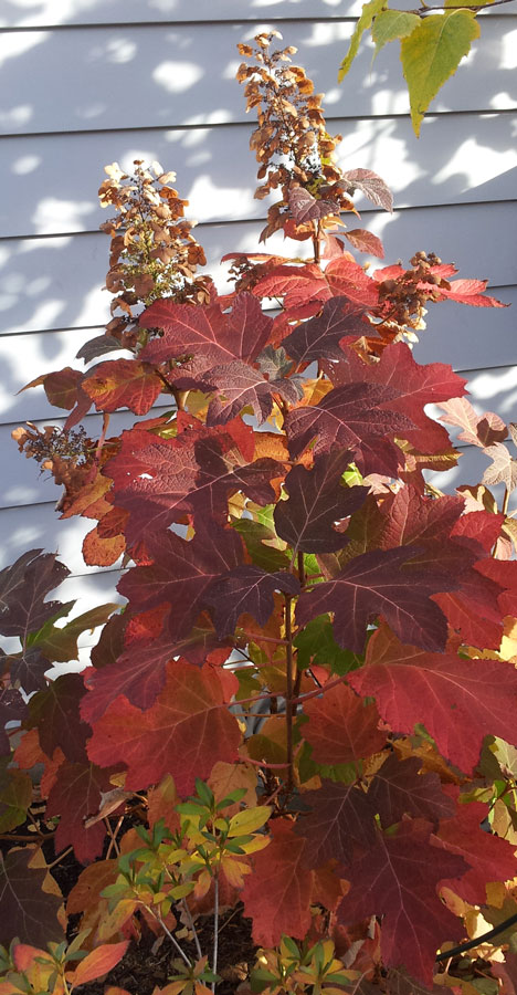 Plants for fall color - Hydrangea quercifolia