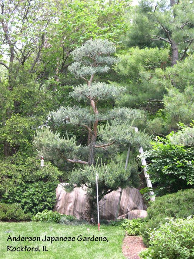 Japanese garden pruning pine pruning