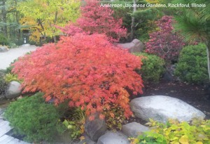 green leaf Japanese maple, Green cascade in fall colors