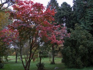 green leaf Japanese maple, Acer japonicum 'Vitifolium' in fall
