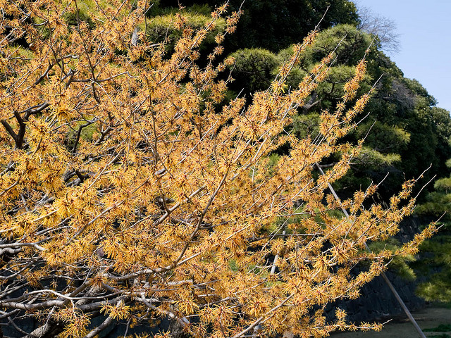 Witch hazel tree chinese