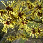 Pallida-witch-hazel-tree
