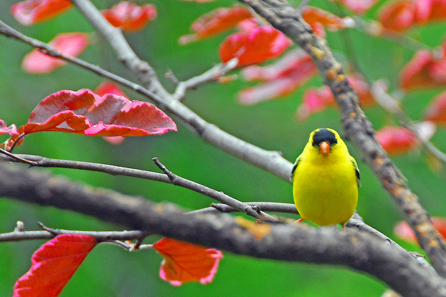 Finch in beech tree