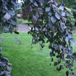 Purple Fountain beech as a perfect specimen
