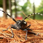 Asian-long-horned-beetle