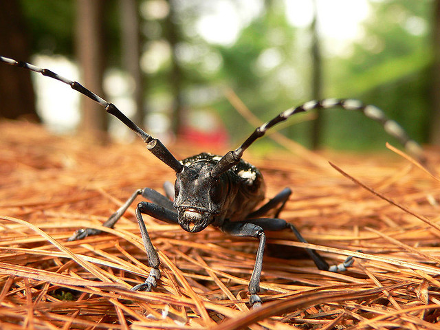 Asian long horned beetle