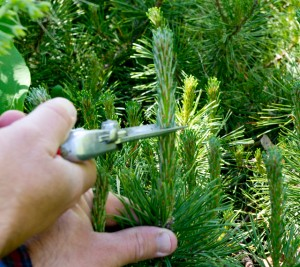 Cutting pine candle with hand pruners