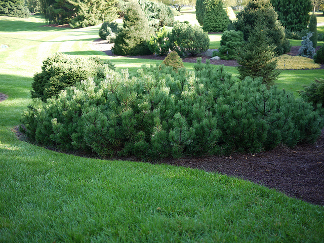 Mugo pine with nice mounded shape