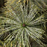 Mugo Pine care - scale on pine