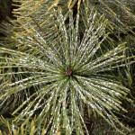 Mugo Pine care - scale on pine