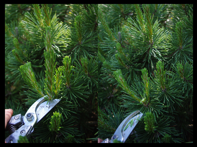 Removing main candle to promote density in a mugo pine.