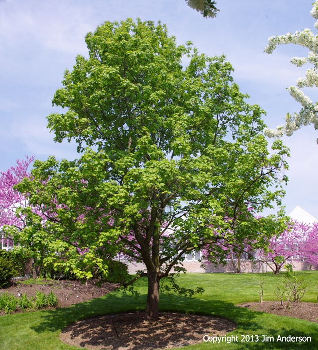Smaller shade trees to consider for your garden for Slow growing trees for front yard