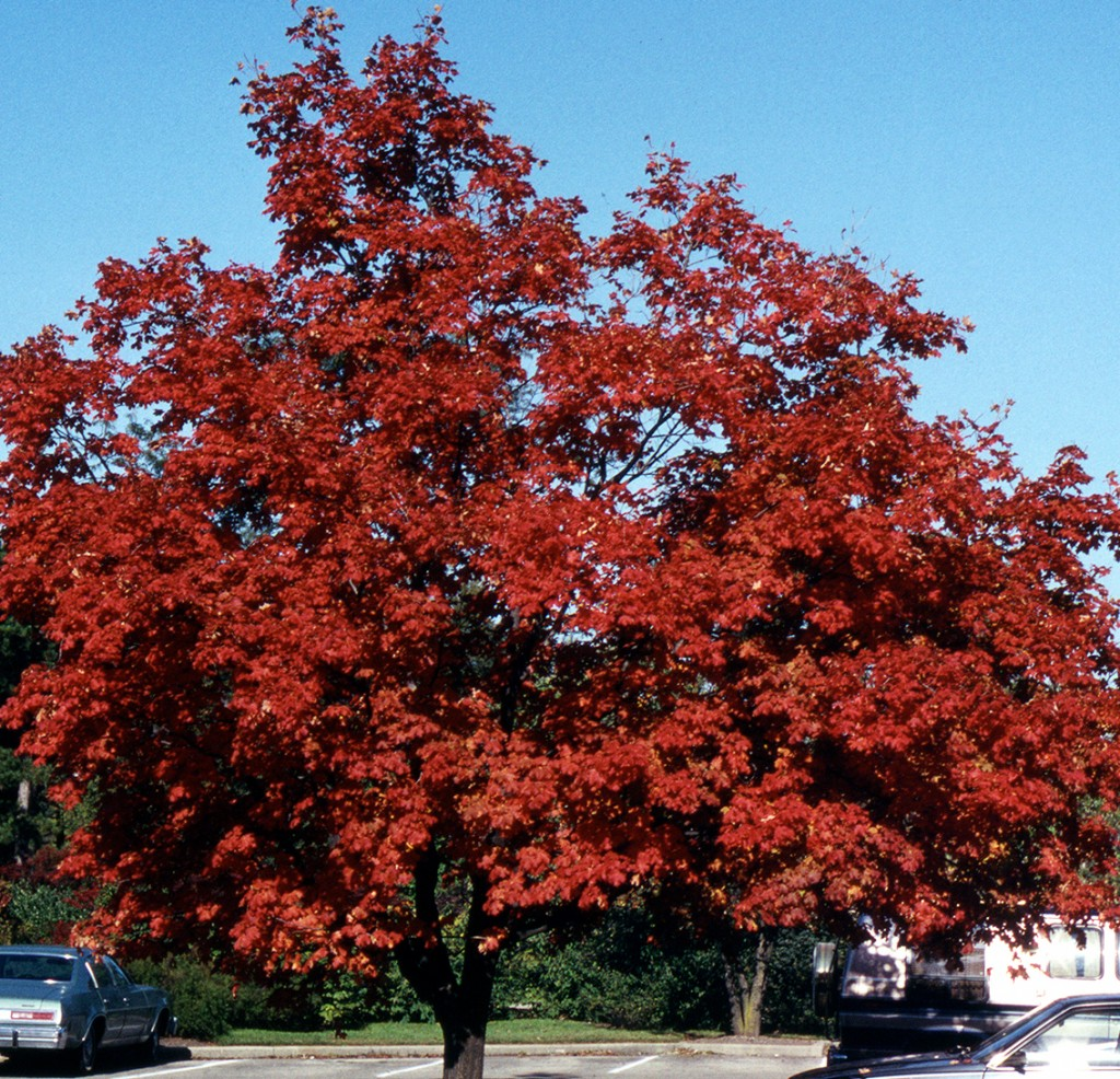 Smaller shade tree - Morton Sugar Maple