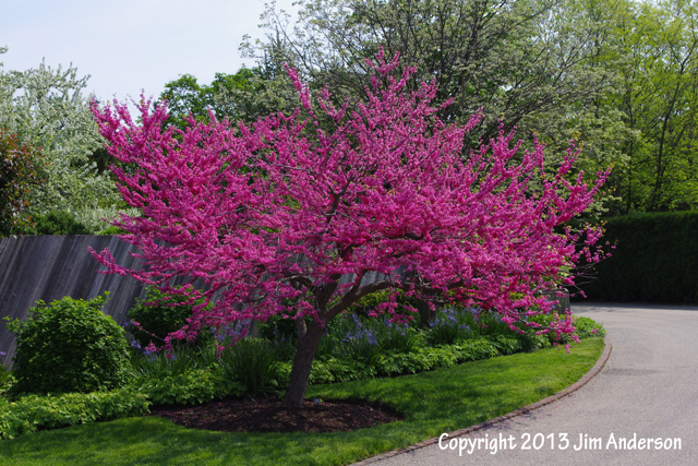 Small understory tree Cercis canadensis 'Appalachian red'