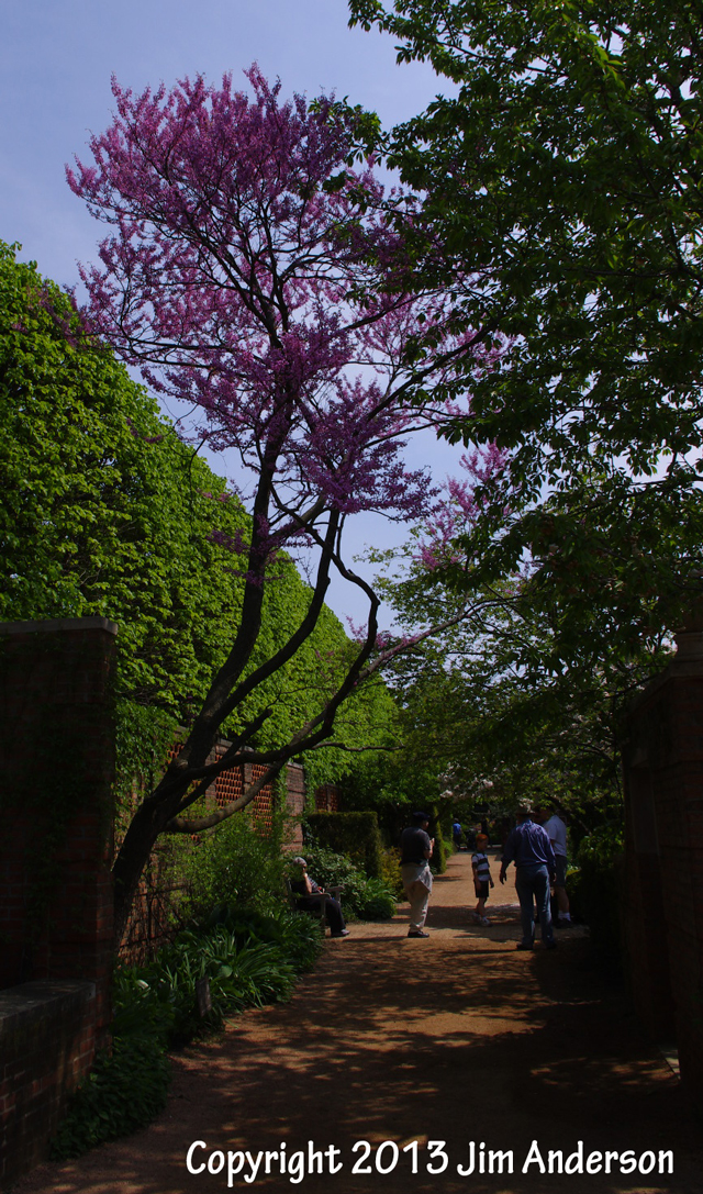 Smaller shade tree - redbud