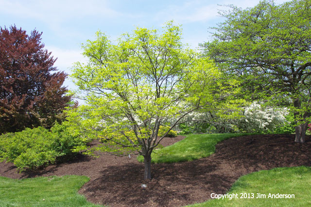 Smaller shade tree - American Yellowwood