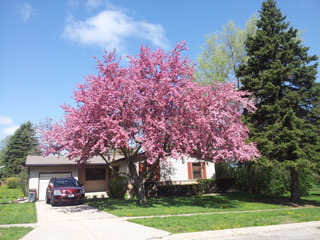 It s time to rethink the idea of having one big shade tree for Miniature shade trees
