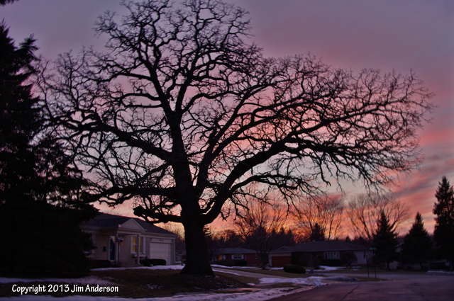 Aesthetic pruning goals - Burr oak shows a classic aged form