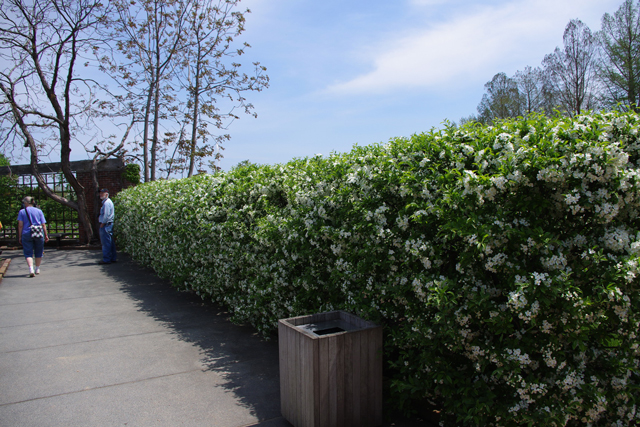 Enclose your garden with a formal hedge of crabapple