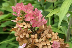 oakleaf hydrangea flower turning pink