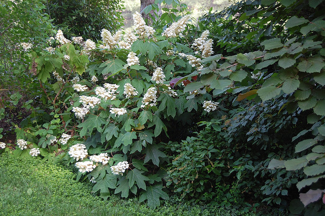 Oakleaf hydrangea in bed