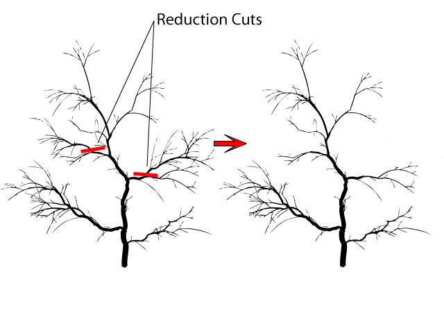 Crabapple pruning reduction cuts