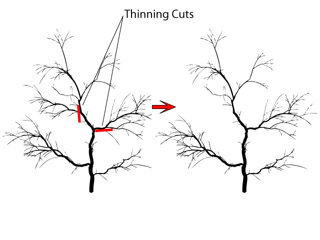 Crab apple pruning cuts - thining cuts