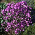 Rhododendron-bloom-time-PJM-full-bloom
