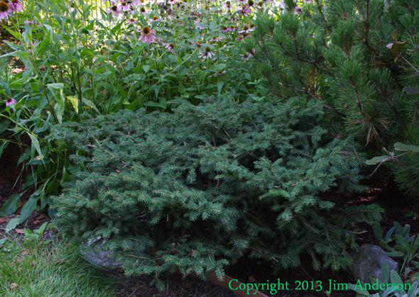 Birds nest spruce (Picea abies 'Nidiformis') before thinning