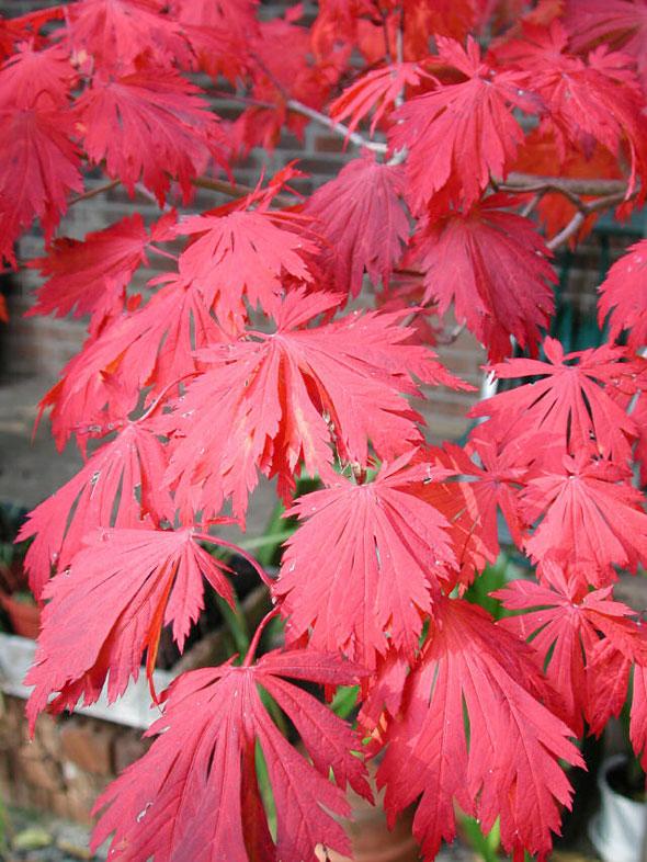 Japanese-garden-Fall-color-Acer_aconitifolium