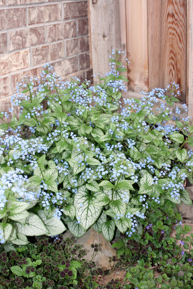 Jack Frost Brunnera Yet Another Variegated Perennial