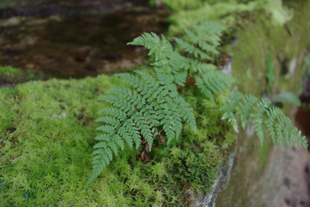Ferns and mosses are perfect for nature inspired gardens of the woods