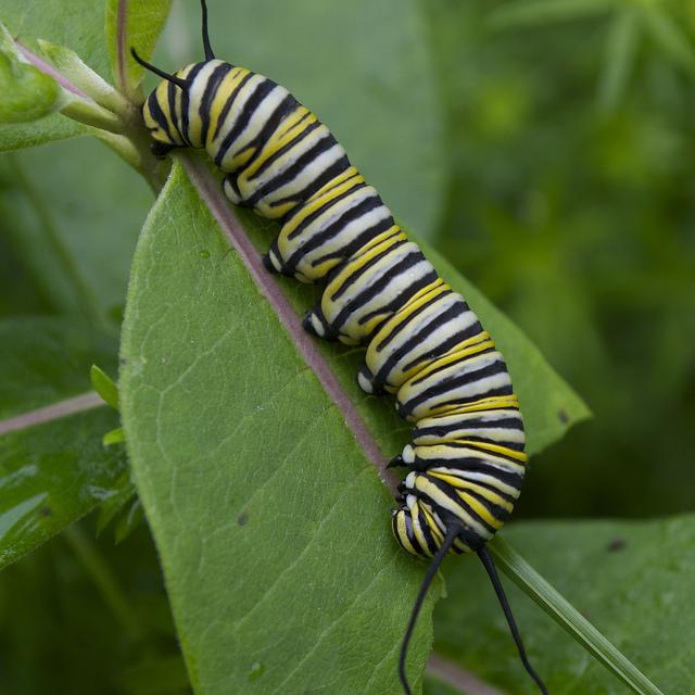 native plants support native monarch caterpillar