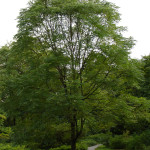 Kentucky Coffeetree (Gymnocladus dioicus) form