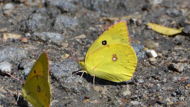Southern Dogface butterfly