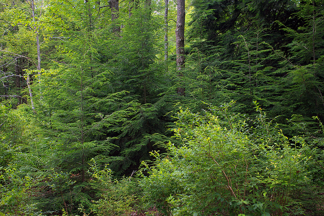Canadian hemlocks in their natural environment