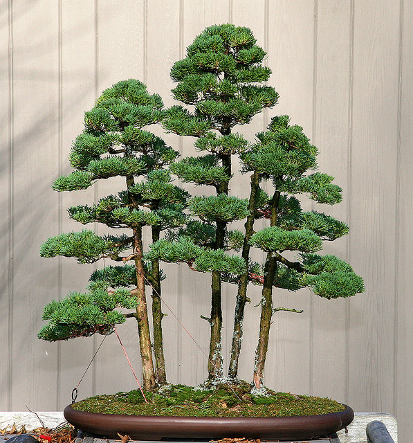 Japanese garden in a small yard Bonsai forest planting